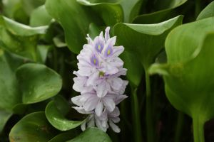 Water Hyacinth Inle Lake.jpg